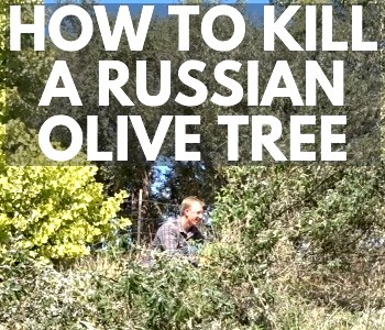 getting rid of russian olive, how to remove a russian olive tree, best way to remove russian olive trees, russian olive tree pictures