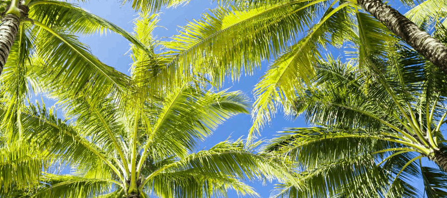 Canopy of Palm Trees