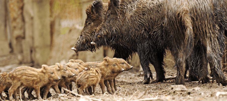 Two wild pigs with several young