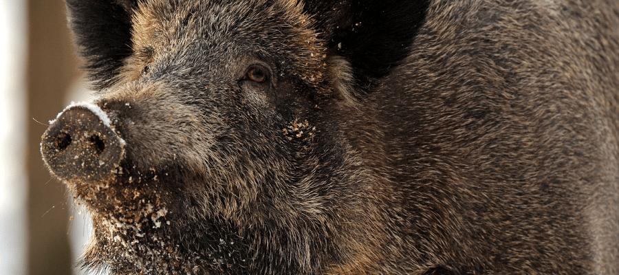 Closeup of wild pig