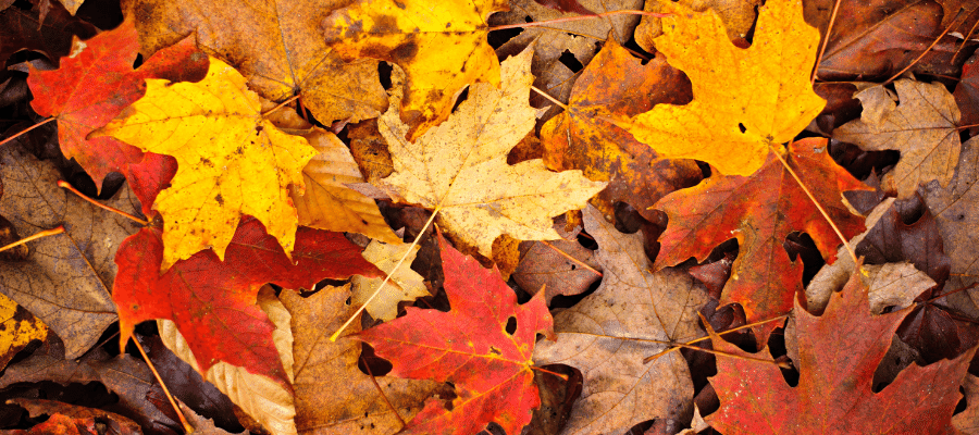 Lots of yellow and orange fall leaves